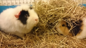 Guinea Pigs: a wonderful audience, especially when your human family is a little sick of hearing about pedagogy...